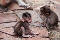 Die Affen spielen und leben im Ruinentempel Lizenzfreies Stockfoto