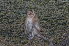 Die Affen von Phangnga-Bucht Raphaella Thailand Lizenzfreie Stockfotografie