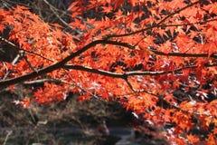Die Ahornblätter sind im Herbst rot lizenzfreies stockbild