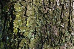 Die alte Baumrinde mit hellgrünem Moos Lizenzfreie Stockbilder