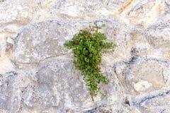 Die alte beige steinige Wand des Hintergrundes mit Anlage Lizenzfreie Stockfotos