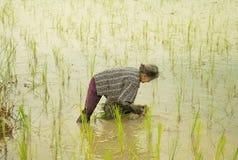 Die alte Dame, die wachsenden Reis auf dem Reisgebiet bearbeitet Stockbild