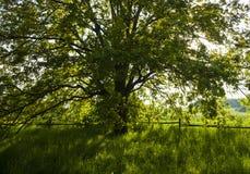 Die alte Eiche am hellen Sommertag Lizenzfreie Stockfotografie