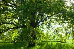 Die alte Eiche am hellen Sommertag Lizenzfreies Stockfoto