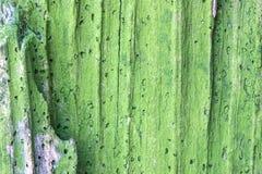 Die alte hölzerne Beschaffenheit oder der Hintergrund Der Makroschuß des faulen Baumstumpfs AA Stockfotografie