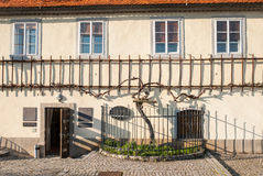 Die alte Rebe, Maribor, Slowenien Lizenzfreies Stockbild