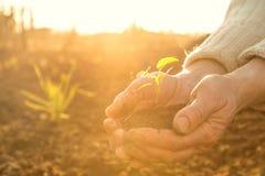 Die alten ländlichen Hände, die grüne Jungpflanze strahlt halten im Sonnenlicht aus Lizenzfreie Stockfotos