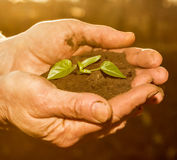 Die alten ländlichen Hände, die grüne Jungpflanze strahlt halten im Sonnenlicht aus Stockfotografie