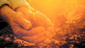 Die alten ländlichen Hände, die grüne Jungpflanze strahlt halten im Sonnenlicht aus Lizenzfreies Stockbild
