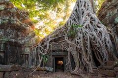 Die alten Ruinen und die Baumwurzeln, eines historischen Khmertempels herein Stockfotos