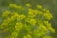 Die Ameise isst auf der Blume Stockfoto