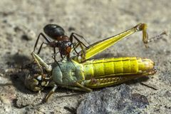 Die Ameise zieht die Heuschrecke fest stockfotos