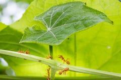 Die Ameisen, die auf die Niederlassungen gehen lizenzfreie stockbilder