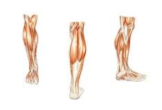 Die Anatomie des Mannes. Die Muskeln des Fahrwerkbeines Lizenzfreie Stockfotografie