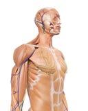 Die Anatomie des oberen Körpers Stockbild