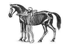 Die Anatomie des Pferds vektor abbildung