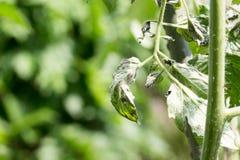 Die angesteckte beschmutzte Tomate der Tomatenpflanze verwelken Virus alias TS Stockfotos