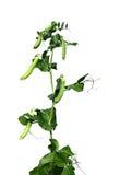 Die Anlage ist ein Gemüse von den lokalisierten Erbsen Lizenzfreie Stockfotos