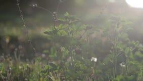 Die Anlagen auf dem Rasen krächzen vom Wind im Sommer nave stock video