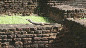 Die Ansicht der großen Eidechse in Sigiriya, ein alter Palast gelegen im zentralen Matale-Bezirk stock video