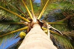 Die Ansicht des Spitzenkokosnussbaums Stockbild