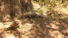 Die Ansicht einer großen Eidechse in Nationalpark Yala, Sri Lanka stock footage