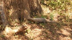 Die Ansicht einer großen Eidechse in Nationalpark Yala, Sri Lanka stock video footage