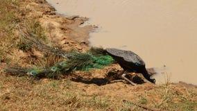 Die Ansicht eines Pfaus in Nationalpark Yala, Sri Lanka stock video