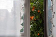 Die Ansicht vom Fenster auf dem Mandarinenbaum Lizenzfreie Stockbilder