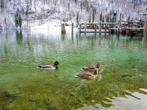 Die Ansicht von Enten auf einem grünen See im Winterzeit-Bootshafenraum Berchtesgaden stockbilder