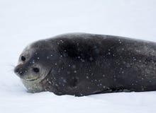 Die Antarktis-Dichtung Lizenzfreie Stockbilder