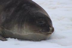 Die Antarktis - Dichtungen Stockfotos
