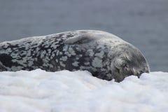 Die Antarktis - Dichtungen Stockfoto