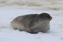 Die Antarktis - Dichtungen Lizenzfreie Stockfotos