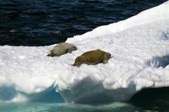 Die Antarktis - Dichtungen auf einer Eis-Scholle Stockbild
