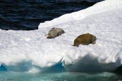 Die Antarktis - Dichtungen auf einer Eis-Scholle Stockfoto