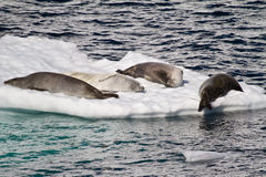 Die Antarktis - Dichtungen auf einer Eis-Scholle Stockbilder