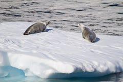 Die Antarktis - Dichtungen auf einer Eis-Scholle Lizenzfreie Stockbilder