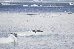 Die Antarktis-Dichtungen im natürlichen Lebensraum Stockfotografie