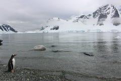 Die Antarktis - Pinguine Stockfotos