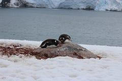 Die Antarktis - Pinguine Lizenzfreie Stockbilder