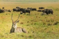 Die Antilope liegt auf dem Gras lizenzfreie stockfotos
