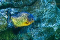 Die Aquariumeinwohner der Unterwasserwelt Stockfoto