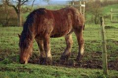 Die Ardennen-Pferd Stockbild