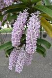 Die asiatische Orchidee der seltenen Spezies in Chiang Mai, Nord-Thailand stockfoto