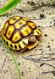Die auf den Strand gesetzte Schildkröte Stockfoto