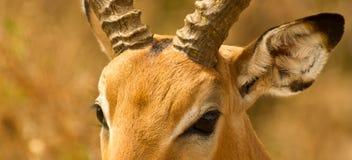 Die Augen des Impala Stockfotos