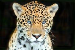 Die Augen eines Jägers Lizenzfreies Stockfoto