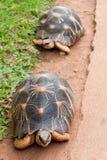 Die ausgestrahlte Schildkröte Lizenzfreie Stockfotografie
