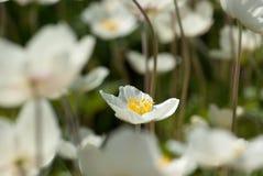 Die ausgesuchte Blume stockfotografie